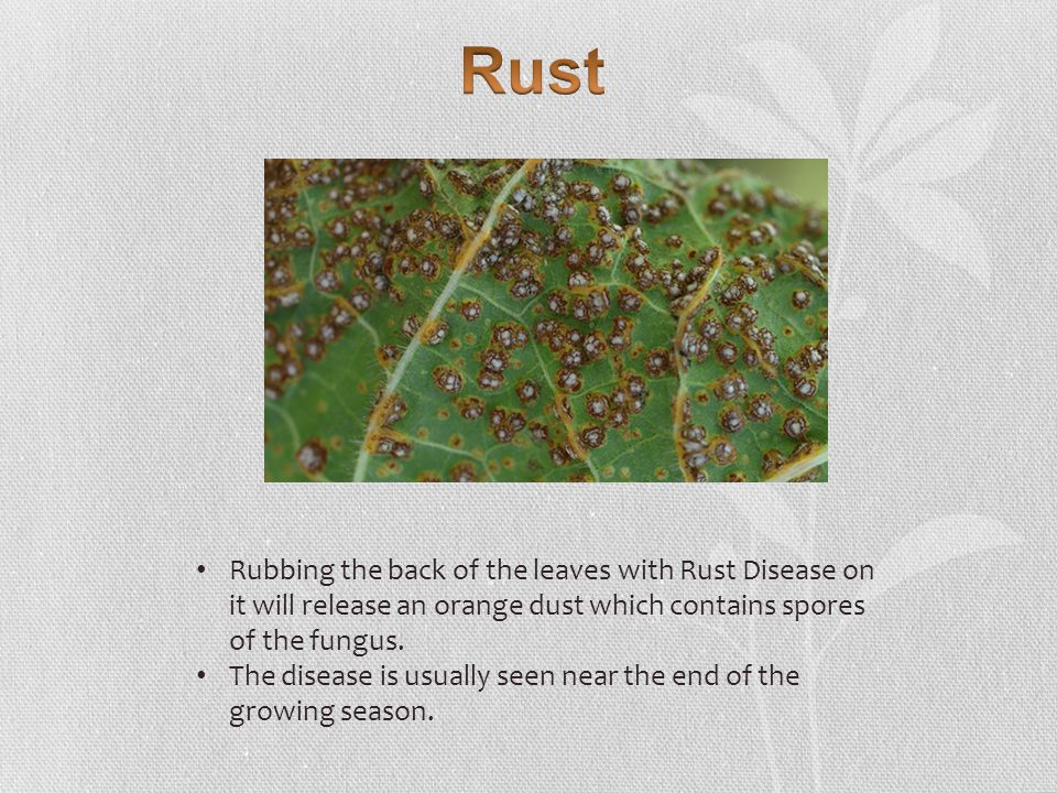 Rubbing the back of the leaves with Rust Disease on it will release an orange dust which contains spores of the fungus.