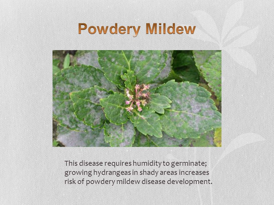 This disease requires humidity to germinate; growing hydrangeas in shady areas increases risk of powdery mildew disease development.