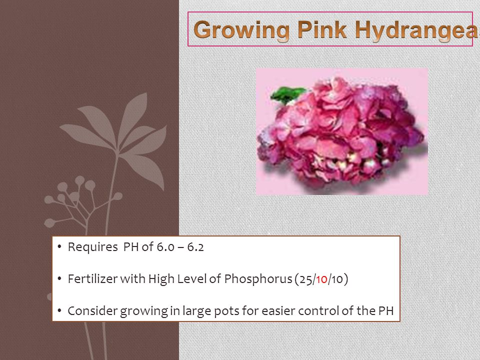 Requires PH of 6.0 – 6.2 Fertilizer with High Level of Phosphorus (25/10/10) Consider growing in large pots for easier control of the PH