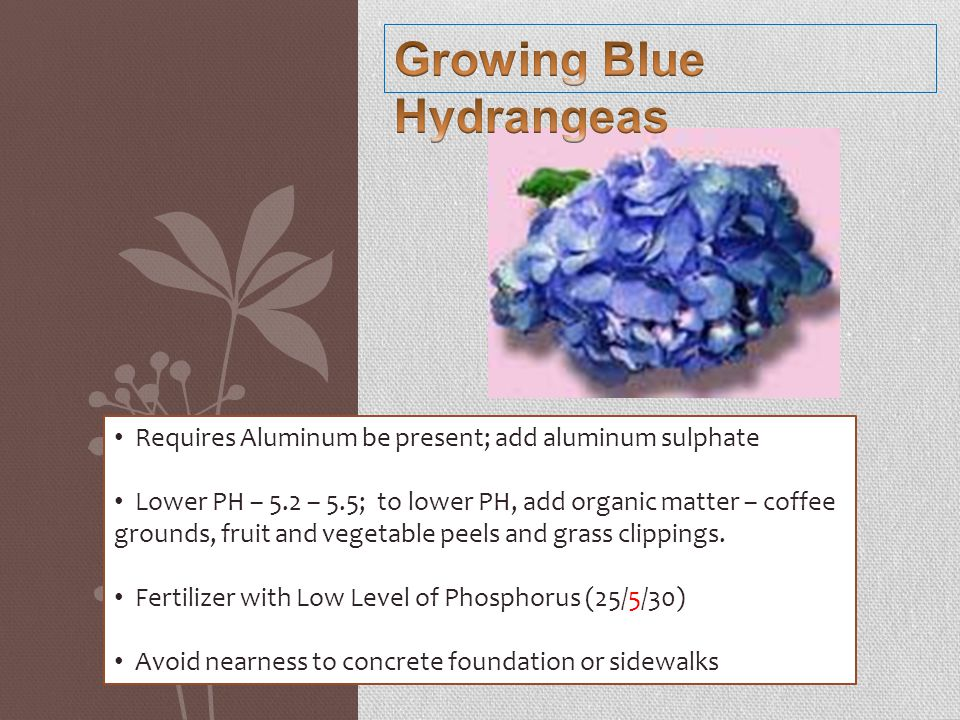 Requires Aluminum be present; add aluminum sulphate Lower PH – 5.2 – 5.5; to lower PH, add organic matter – coffee grounds, fruit and vegetable peels and grass clippings.
