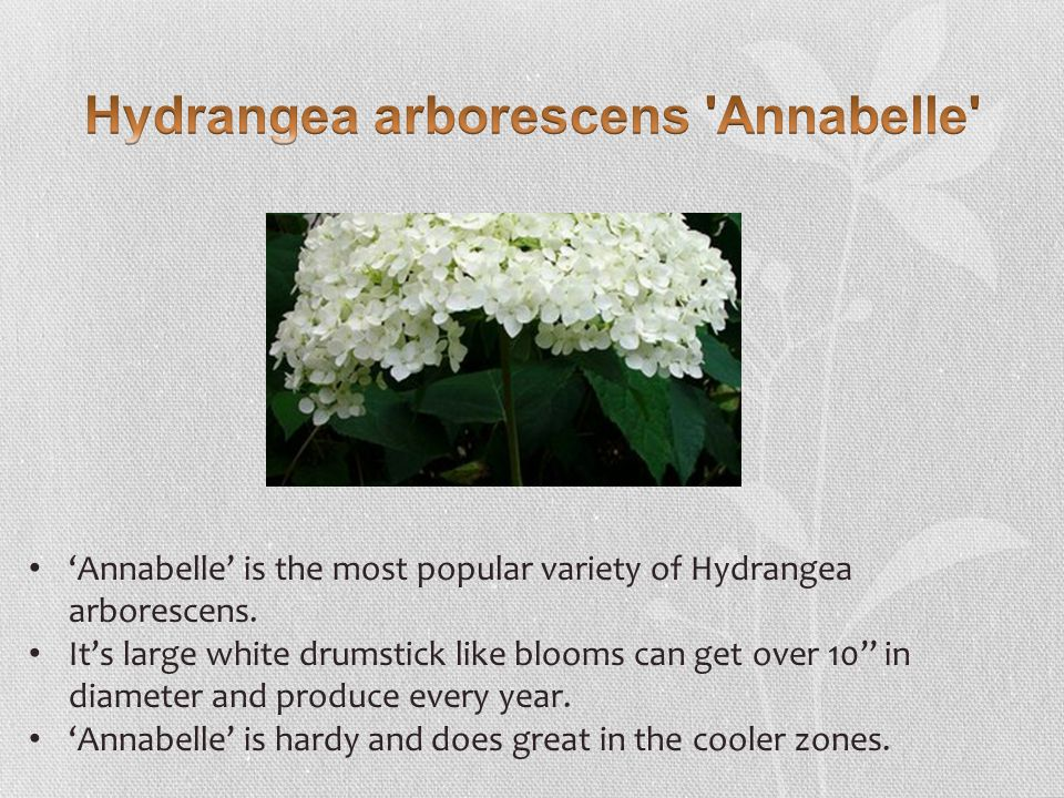 'Annabelle' is the most popular variety of Hydrangea arborescens.