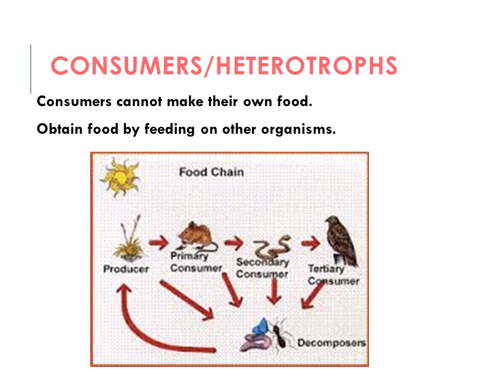 CONSUMERS/HETEROTROPHS Consumers cannot make their own food. Obtain food by feeding on other organisms.