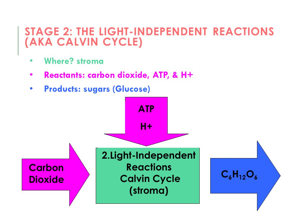 STAGE 2: THE LIGHT-INDEPENDENT REACTIONS (AKA CALVIN CYCLE) Where? stroma Reactants: carbon dioxide, ATP, & H+ Products: sugars (Glucose) 2.Light-Inde