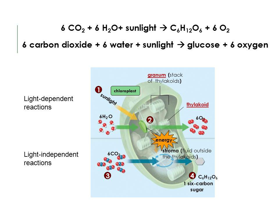 C 6 H 12 O 6 granum ( stack of thylakoids ) thylakoid sunlight 1 six-carbon sugar 6H 2 O 6CO 2 6O 2 chloroplast 1 2 43 energy stroma ( fluid outside t