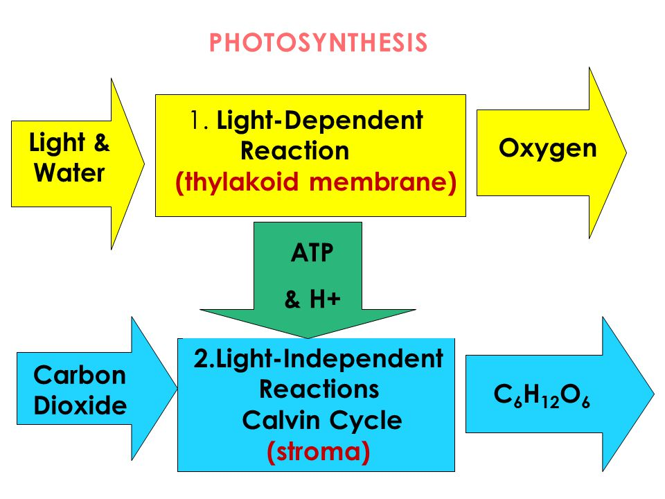 PHOTOSYNTHESIS 1. Light-Dependent Reaction (thylakoid membrane) 2.Light-Independent Reactions Calvin Cycle (stroma) Light & Water Oxygen ATP & H+ Carb