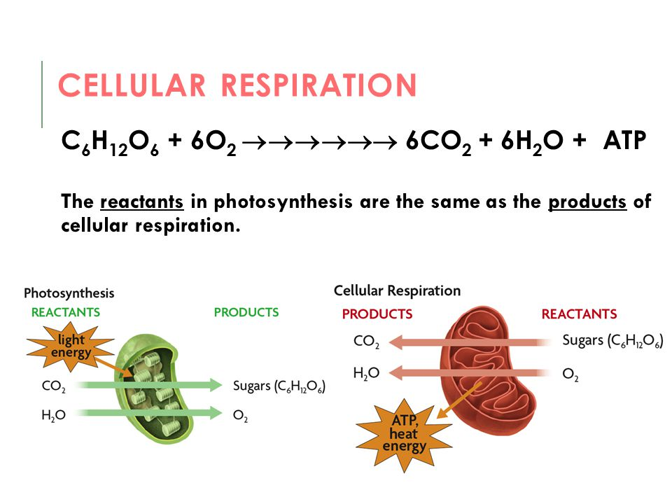 C 6 H 12 O 6 + 6O 2  6CO 2 + 6H 2 O + ATP The reactants in photosynthesis are the same as the products of cellular respiration. CELLULAR RESPIRA