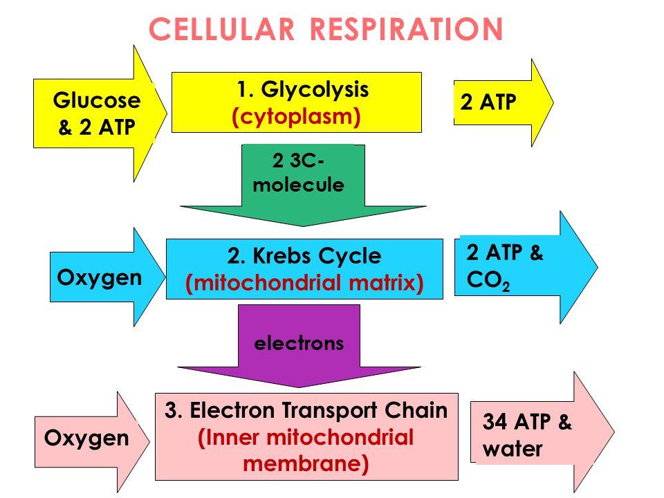 1. Glycolysis (cytoplasm) 2. Krebs Cycle (mitochondrial matrix) Glucose & 2 ATP 2 ATP 2 3C- molecule Oxygen 2 ATP & CO 2 3. Electron Transport Chain (