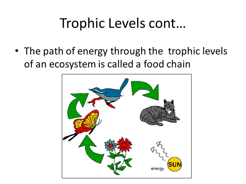 Trophic Levels cont… The path of energy through the trophic levels of an ecosystem is called a food chain