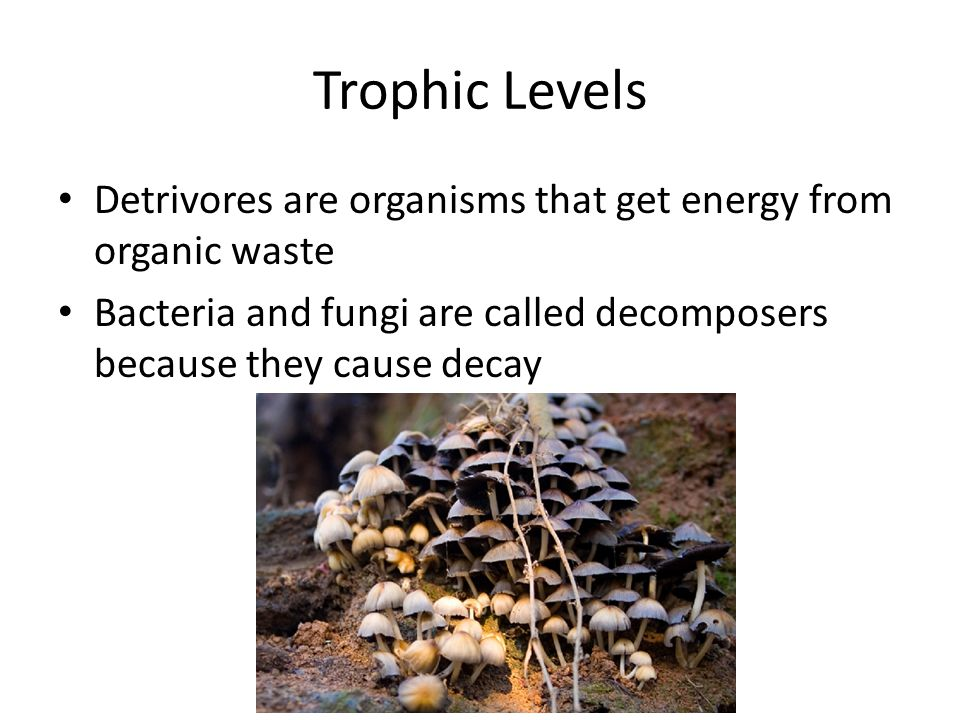 Trophic Levels Detrivores are organisms that get energy from organic waste Bacteria and fungi are called decomposers because they cause decay