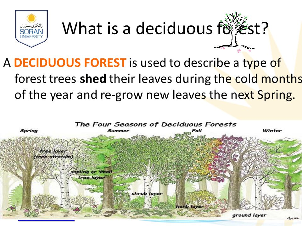 www.soran.edu.iq What is a deciduous forest? A DECIDUOUS FOREST is used to describe a type of forest trees shed their leaves during the cold months of
