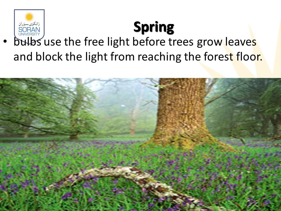 www.soran.edu.iq Spring bulbs use the free light before trees grow leaves and block the light from reaching the forest floor.