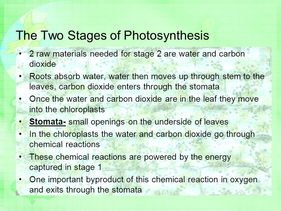 The Two Stages of Photosynthesis 2 raw materials needed for stage 2 are water and carbon dioxide Roots absorb water, water then moves up through stem to the leaves, carbon dioxide enters through the stomata Once the water and carbon dioxide are in the leaf they move into the chloroplasts Stomata- small openings on the underside of leaves In the chloroplasts the water and carbon dioxide go through chemical reactions These chemical reactions are powered by the energy captured in stage 1 One important byproduct of this chemical reaction in oxygen and exits through the stomata
