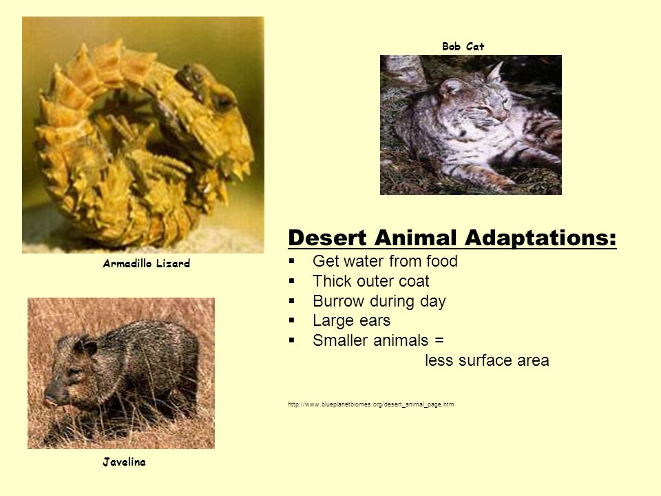 Desert Animal Adaptations:  Get water from food  Thick outer coat  Burrow during day  Large ears  Smaller animals = less surface area http://www.blueplanetbiomes.org/desert_animal_page.htm Javelina Bob Cat Armadillo Lizard
