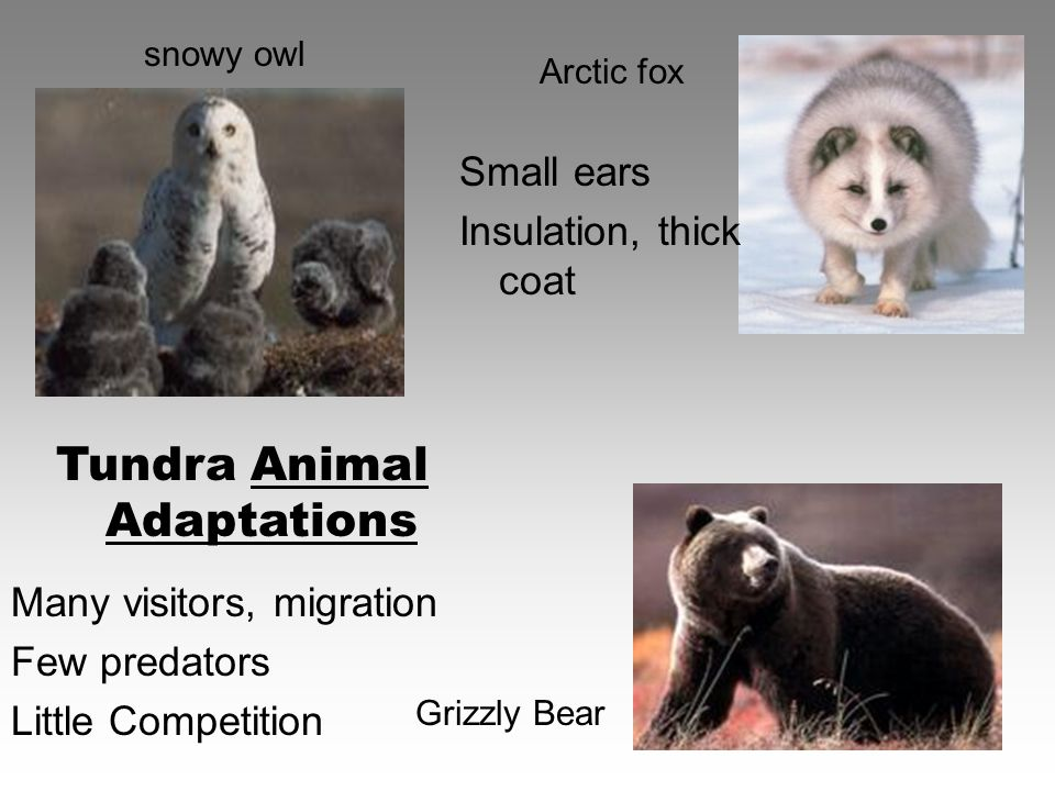 Many visitors, migration Few predators Little Competition Small ears Insulation, thick coat Arctic fox snowy owl Grizzly Bear Tundra Animal Adaptations