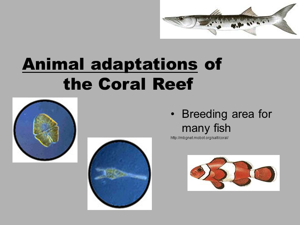 Breeding area for many fish http://mbgnet.mobot.org/salt/coral/ Animal adaptations of the Coral Reef