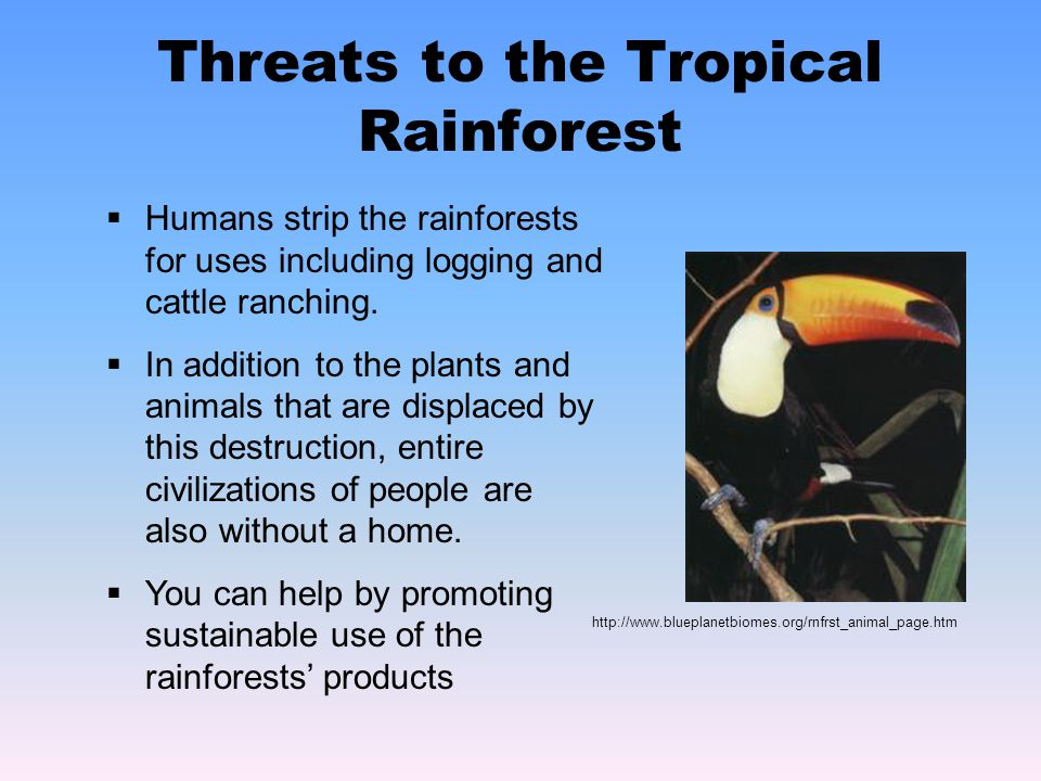 Threats to the Tropical Rainforest http://www.blueplanetbiomes.org/rnfrst_animal_page.htm HHumans strip the rainforests for uses including logging and cattle ranching.