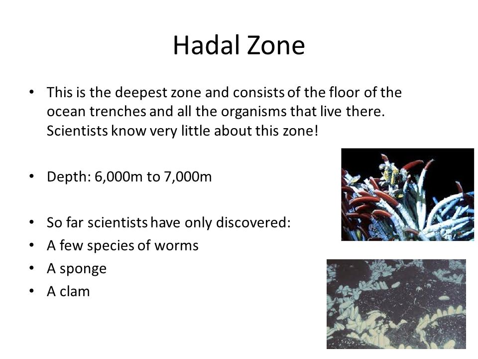 Hadal Zone This is the deepest zone and consists of the floor of the ocean trenches and all the organisms that live there. Scientists know very little