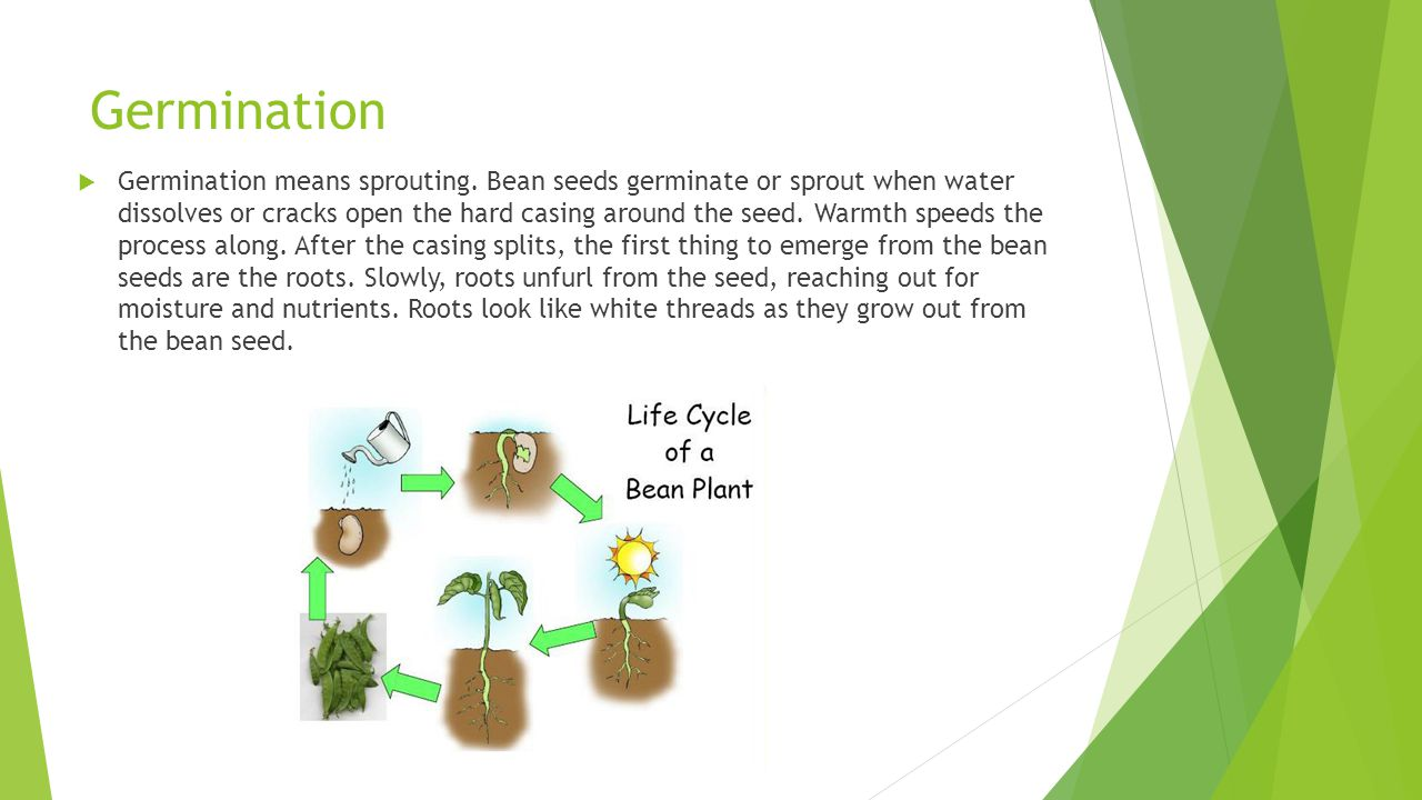 Germination  Germination means sprouting. Bean seeds germinate or sprout when water dissolves or cracks open the hard casing around the seed. Warmth