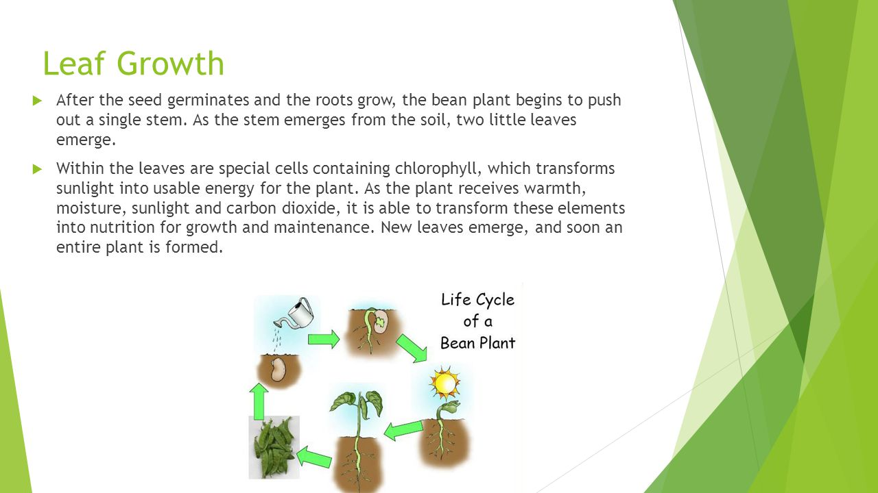 Leaf Growth  After the seed germinates and the roots grow, the bean plant begins to push out a single stem. As the stem emerges from the soil, two li