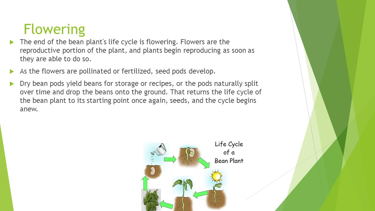 Flowering  The end of the bean plant's life cycle is flowering. Flowers are the reproductive portion of the plant, and plants begin reproducing as so