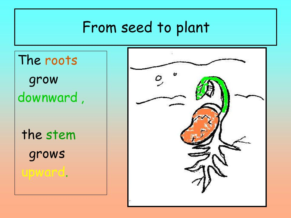 From seed to plant The roots grow downward, the stem grows upward.