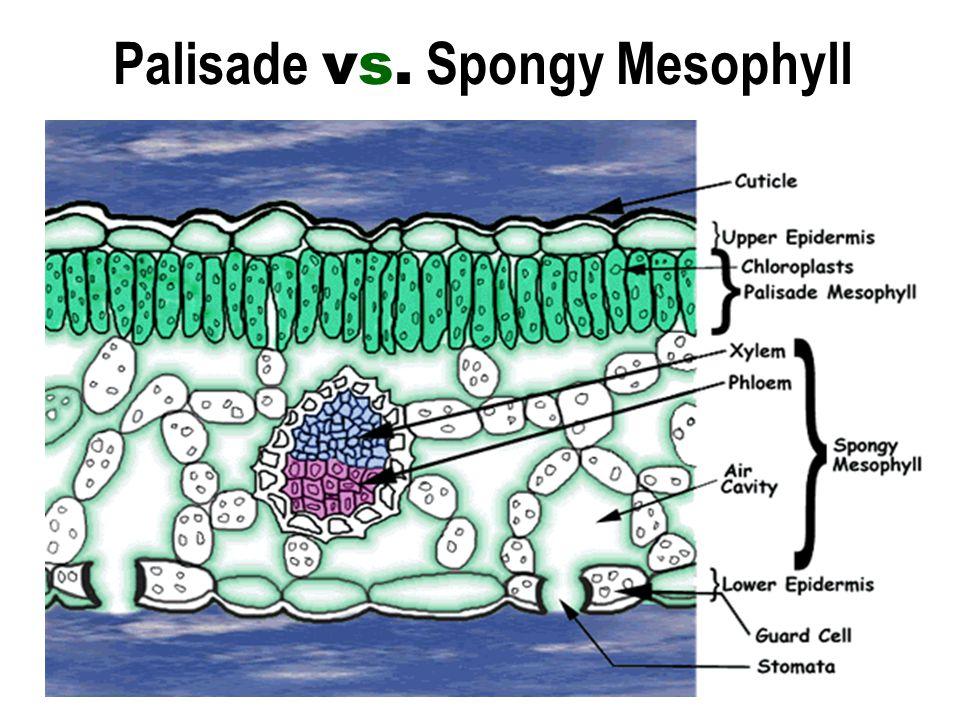 Palisade vs. Spongy Mesophyll