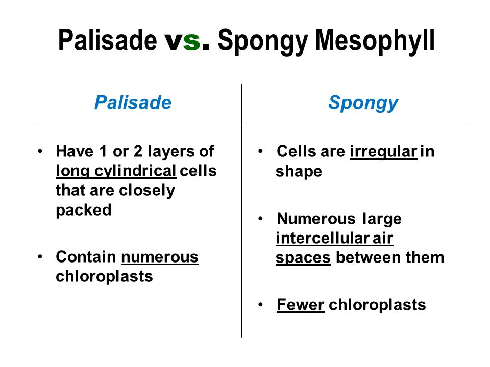 Palisade Have 1 or 2 layers of long cylindrical cells that are closely packed Contain numerous chloroplasts Spongy Cells are irregular in shape Numerous large intercellular air spaces between them Fewer chloroplasts Palisade vs.