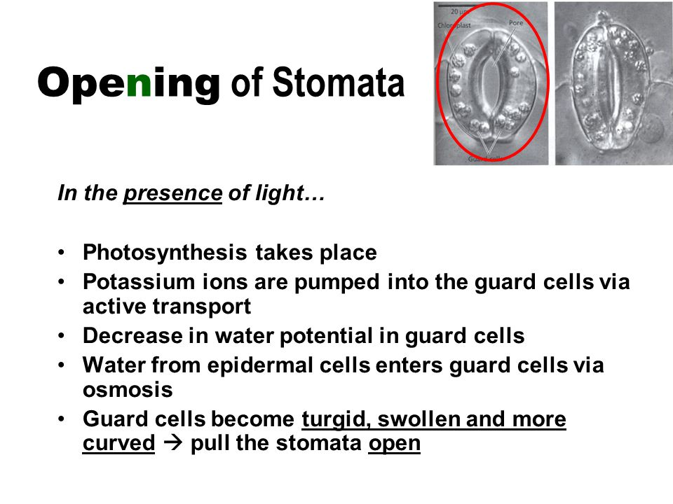 In the presence of light… Photosynthesis takes place Potassium ions are pumped into the guard cells via active transport Decrease in water potential in guard cells Water from epidermal cells enters guard cells via osmosis Guard cells become turgid, swollen and more curved  pull the stomata open Opening of Stomata