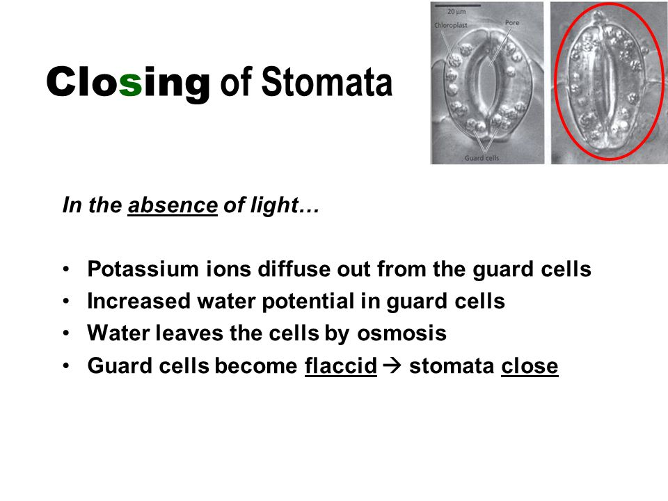 In the absence of light… Potassium ions diffuse out from the guard cells Increased water potential in guard cells Water leaves the cells by osmosis Guard cells become flaccid  stomata close Closing of Stomata