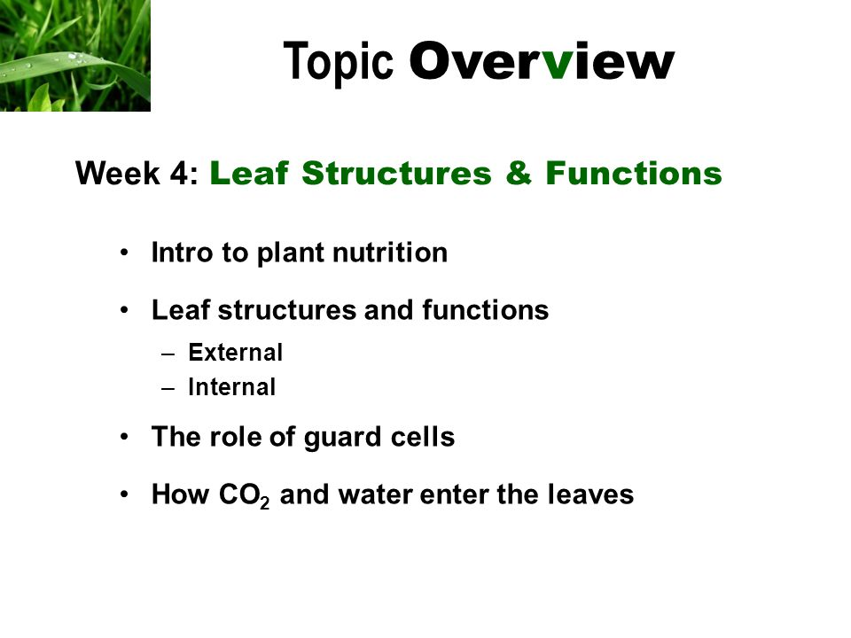 Intro to plant nutrition Leaf structures and functions –External –Internal The role of guard cells How CO 2 and water enter the leaves Topic Overview Week 4: Leaf Structures & Functions