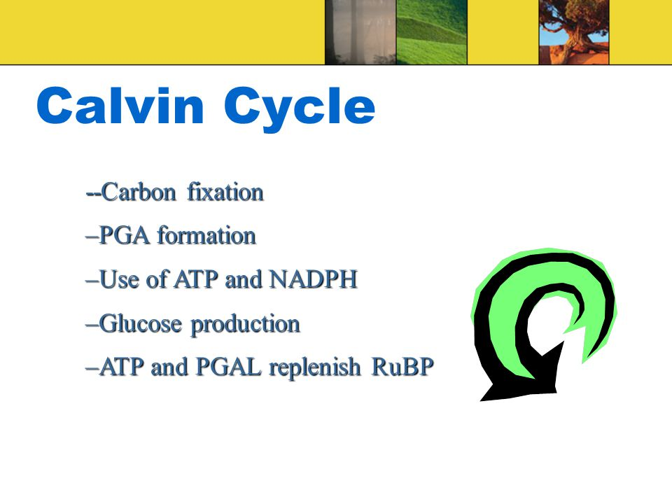 Calvin Cycle --Carbon fixation –PGA formation –Use of ATP and NADPH –Glucose production –ATP and PGAL replenish RuBP
