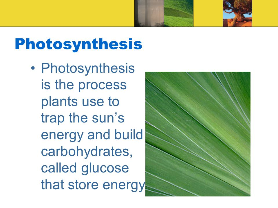 Photosynthesis Photosynthesis is the process plants use to trap the sun's energy and build carbohydrates, called glucose that store energy