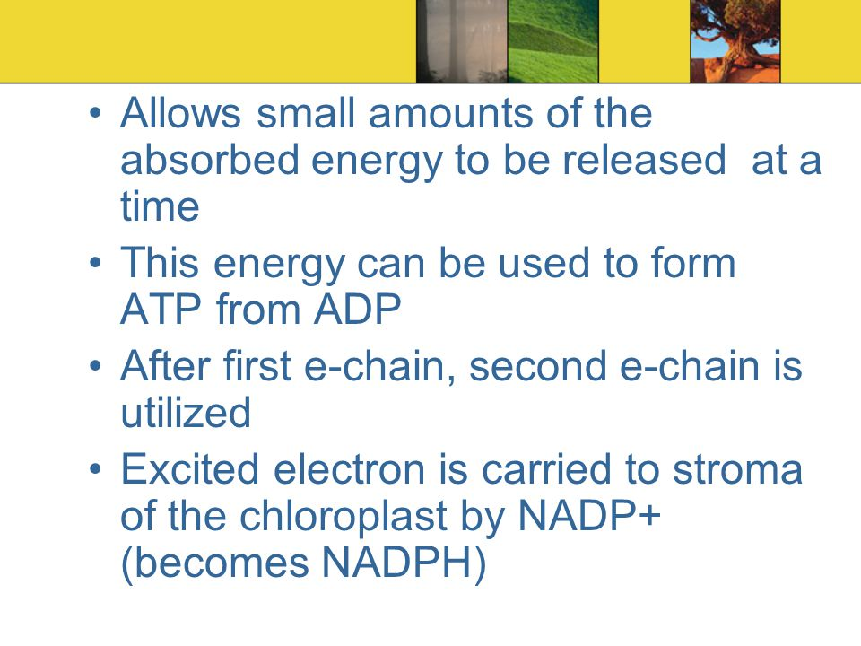 Allows small amounts of the absorbed energy to be released at a time This energy can be used to form ATP from ADP After first e-chain, second e-chain is utilized Excited electron is carried to stroma of the chloroplast by NADP+ (becomes NADPH)