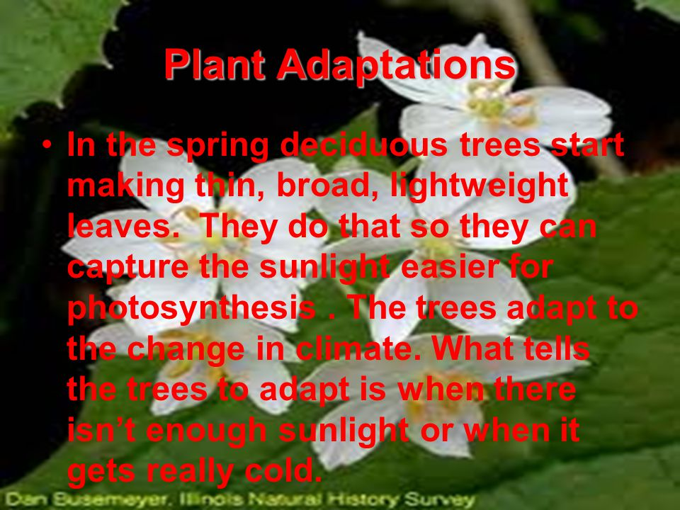Plant Adaptations In the spring deciduous trees start making thin, broad, lightweight leaves.