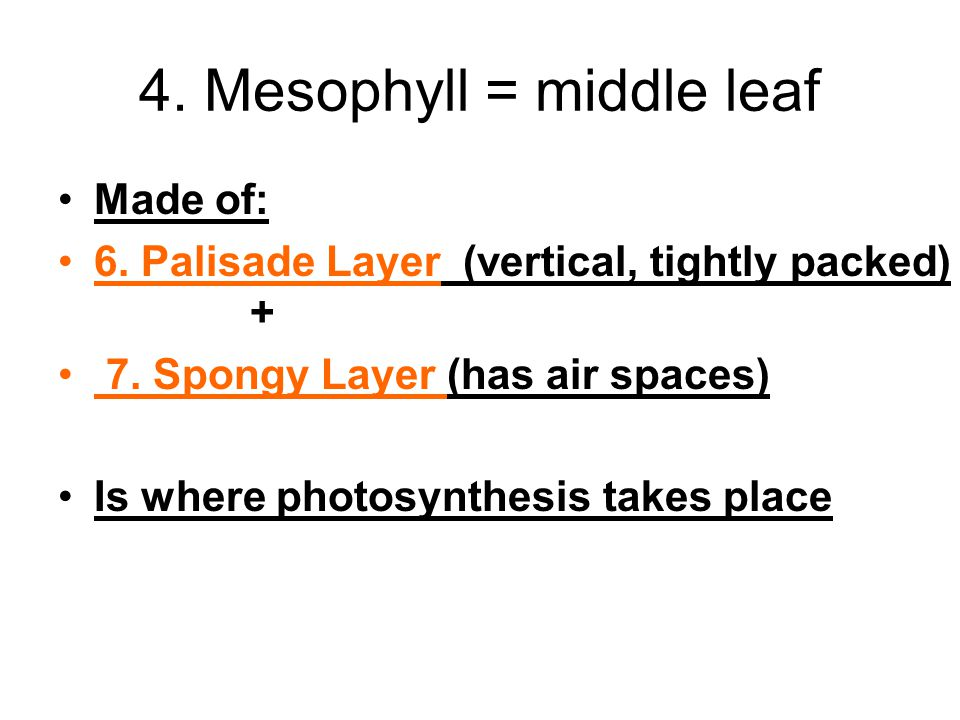 4. Mesophyll = middle leaf Made of: 6. Palisade Layer (vertical, tightly packed) + 7. Spongy Layer (has air spaces) Is where photosynthesis takes plac