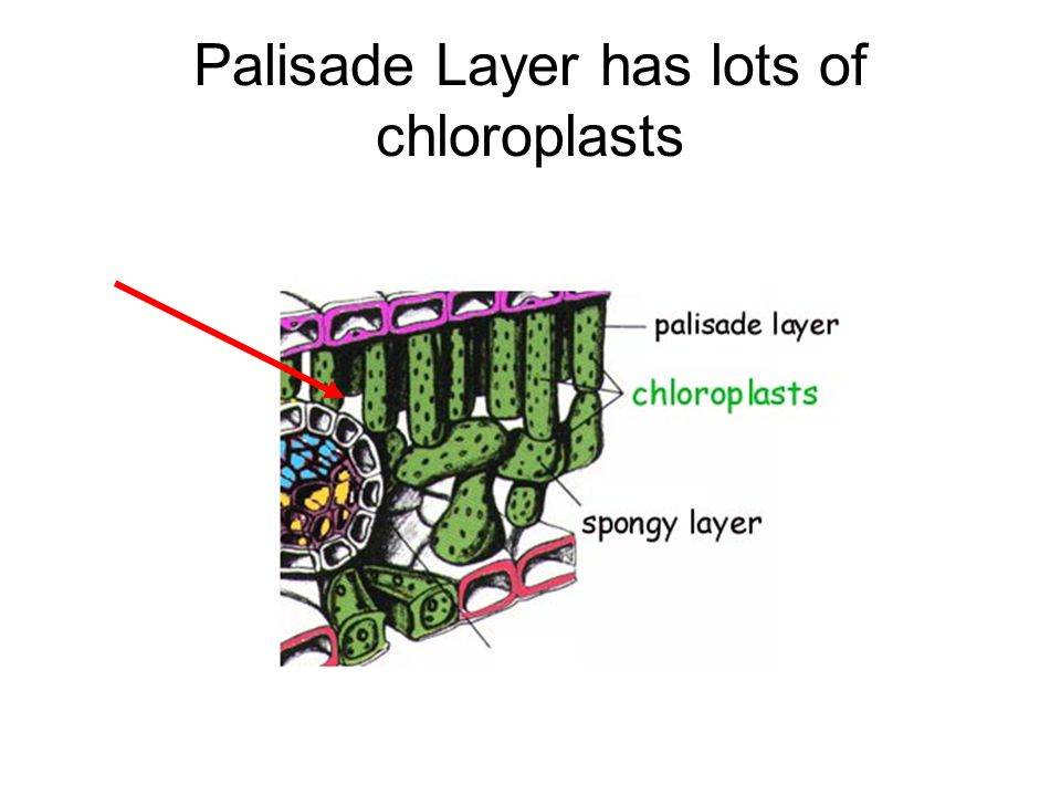 Palisade Layer has lots of chloroplasts