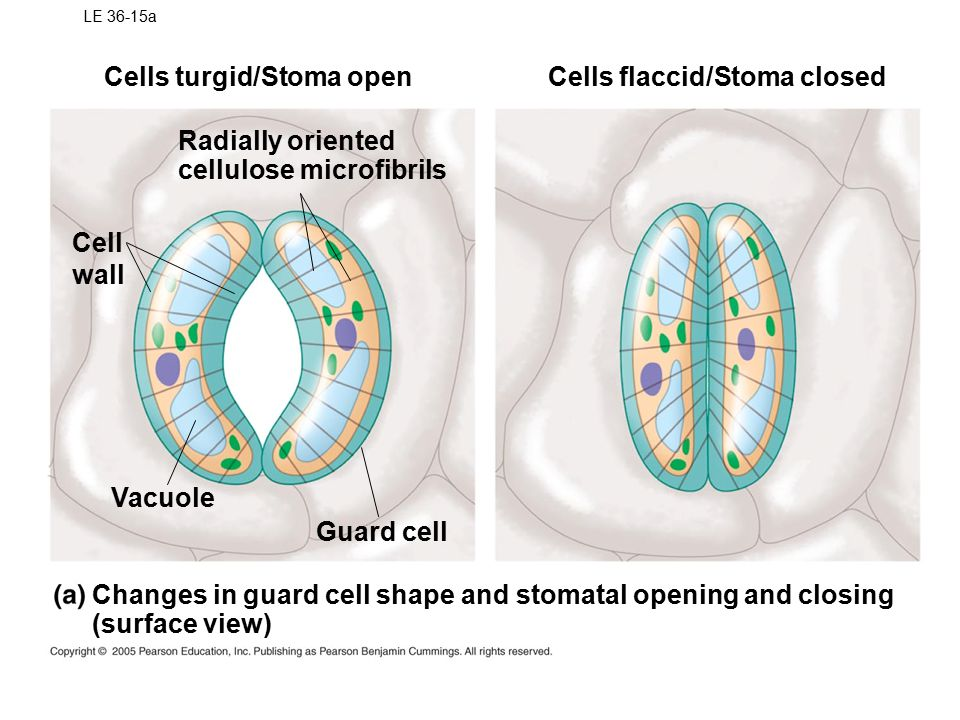 LE 36-15a Cells turgid/Stoma open Changes in guard cell shape and stomatal opening and closing (surface view) Radially oriented cellulose microfibrils Vacuole Cell wall Guard cell Cells flaccid/Stoma closed