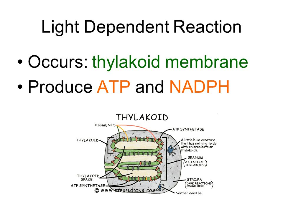 Light Dependent Reaction Occurs: thylakoid membrane Produce ATP and NADPH