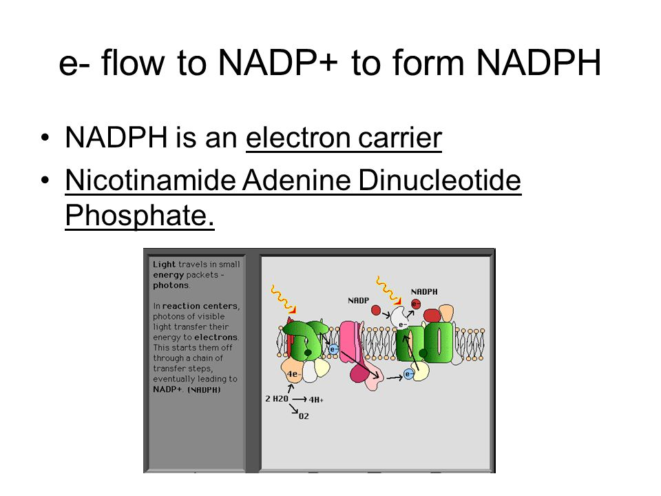 e- flow to NADP+ to form NADPH NADPH is an electron carrier Nicotinamide Adenine Dinucleotide Phosphate.