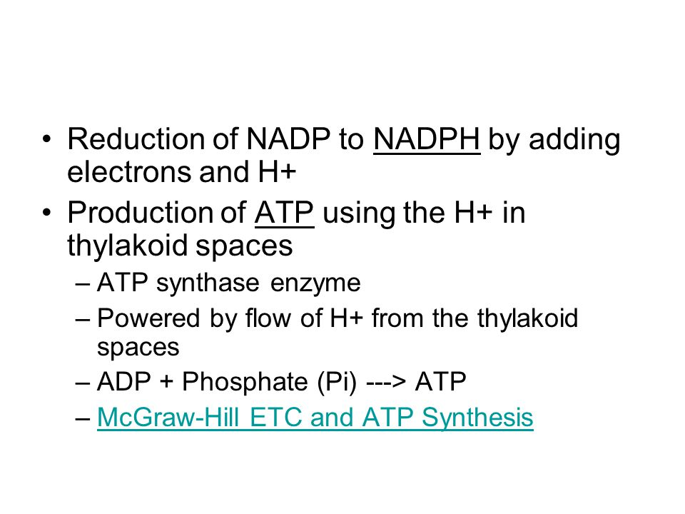 Reduction of NADP to NADPH by adding electrons and H+ Production of ATP using the H+ in thylakoid spaces –ATP synthase enzyme –Powered by flow of H+ f