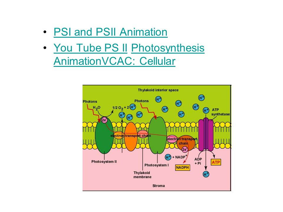 PSI and PSII Animation You Tube PS II Photosynthesis AnimationVCAC: CellularYou Tube PS IIPhotosynthesis AnimationVCAC: Cellular