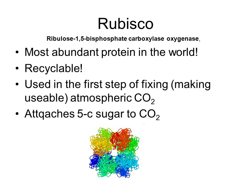 Rubisco Most abundant protein in the world! Recyclable! Used in the first step of fixing (making useable) atmospheric CO 2 Attqaches 5-c sugar to CO 2