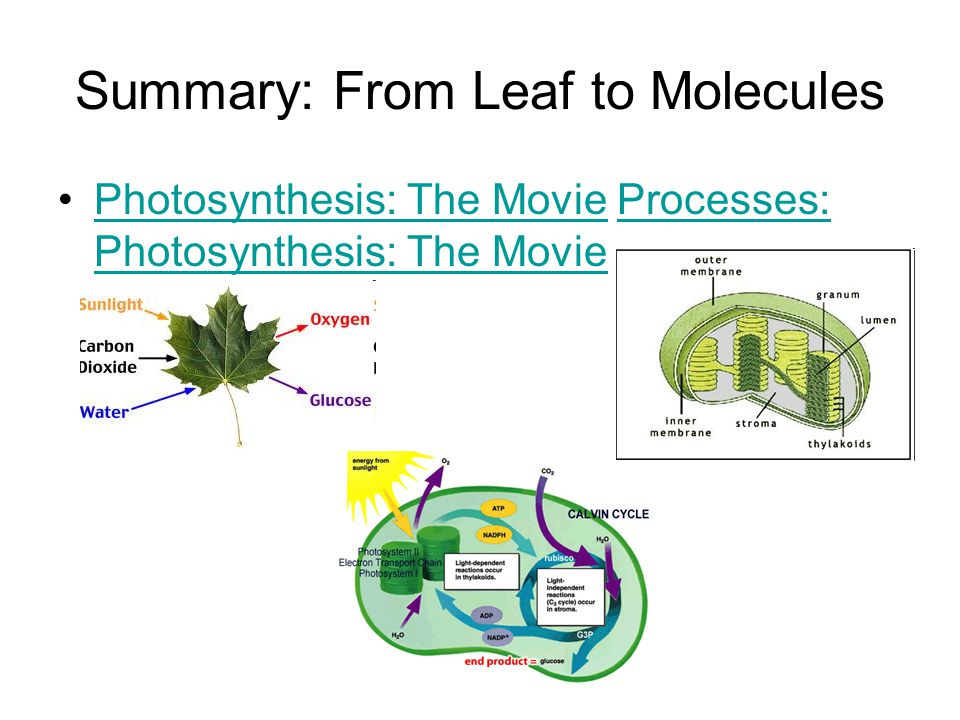 Summary: From Leaf to Molecules Photosynthesis: The Movie Processes: Photosynthesis: The MoviePhotosynthesis: The MovieProcesses: Photosynthesis: The