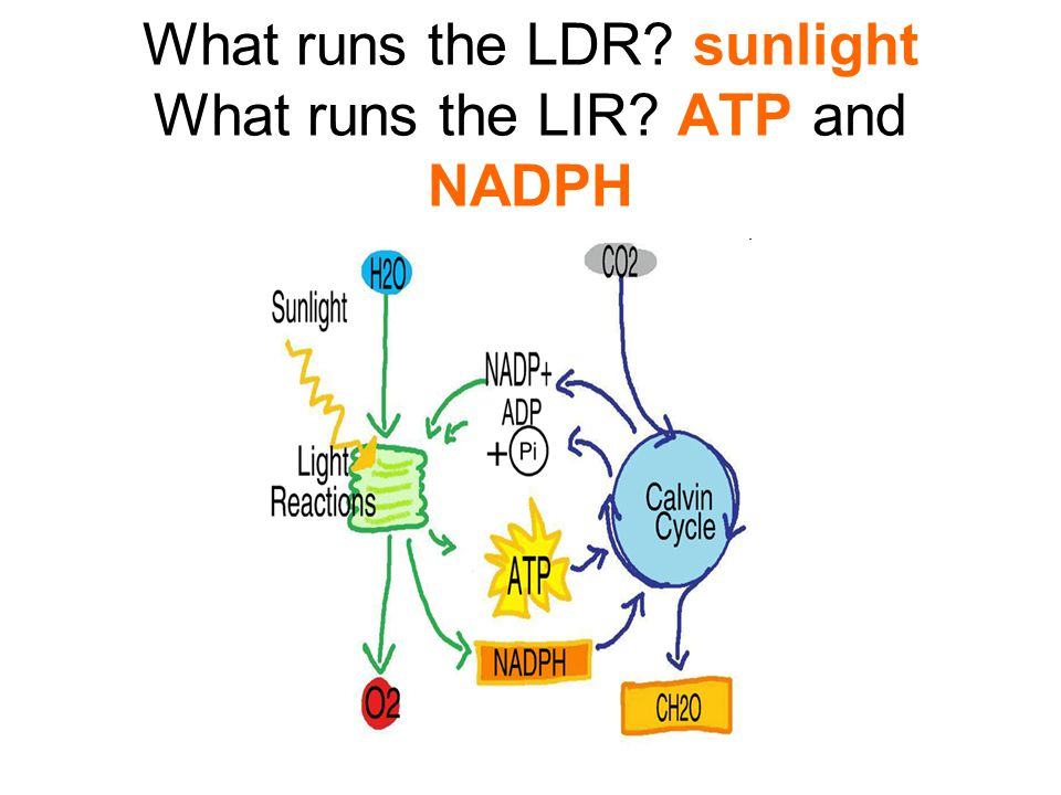 What runs the LDR? sunlight What runs the LIR? ATP and NADPH