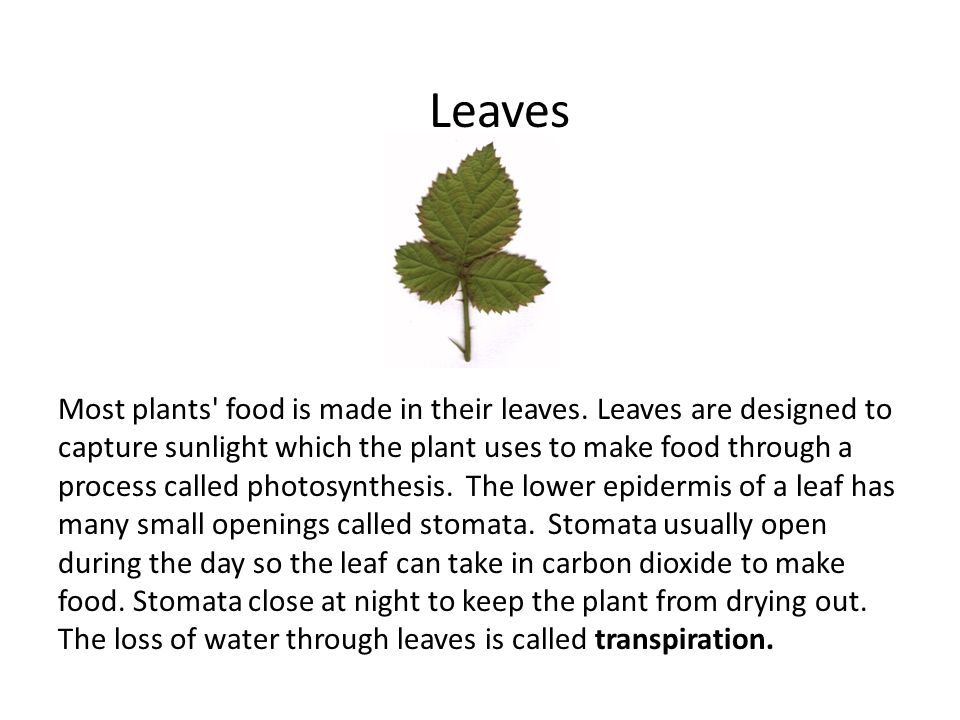 Leaves Most plants food is made in their leaves.