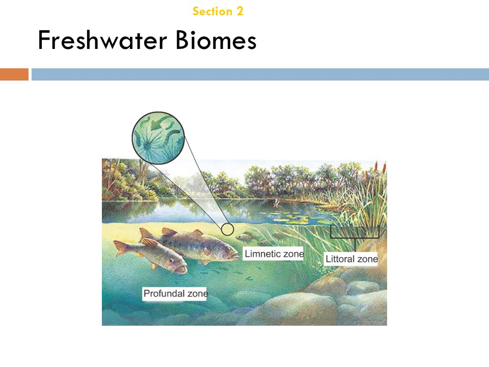 Section 2 Aquatic Ecosystems Chapter 21 Freshwater Zones, continued  Freshwater Wetlands  Freshwater wetlands are areas of land, such as marshes and