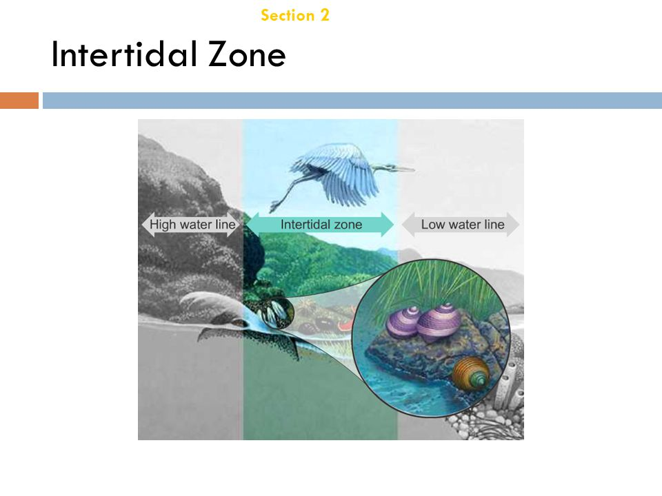 Chapter 21 Intertidal Zone Section 2 Aquatic Ecosystems