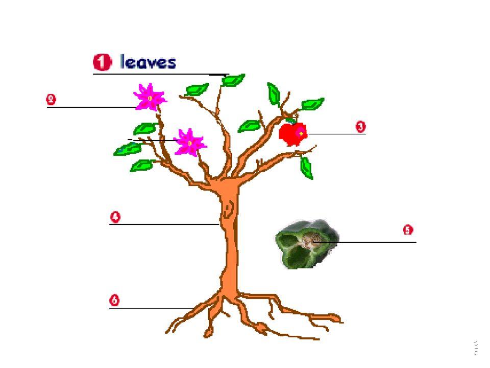 FIR TREECORK TREECHESTNUT TREE ALMOND TREE JUNIPER TYPES OF TREES : NUTS