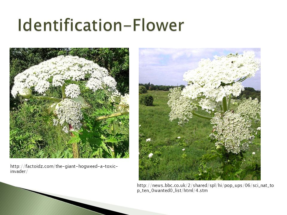 http://factoidz.com/the-giant-hogweed-a-toxic- invader/ http://news.bbc.co.uk/2/shared/spl/hi/pop_ups/06/sci_nat_to p_ten_0wanted0_list/html/4.stm