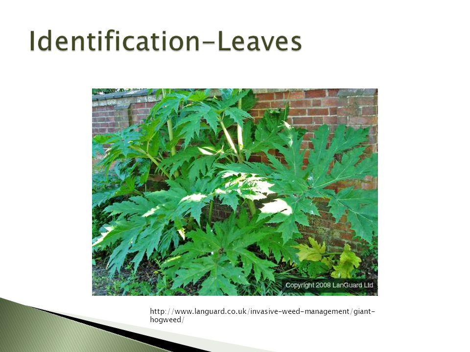 http://www.languard.co.uk/invasive-weed-management/giant- hogweed/